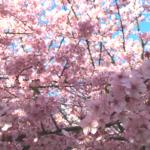 三浦海岸の河津桜満開です!三浦海岸桜まつり