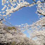 2021年の上野恩賜公園の桜開花情報(開花まで週数回更新)